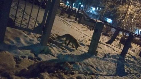 По улицам Первоуральска гуляла лиса